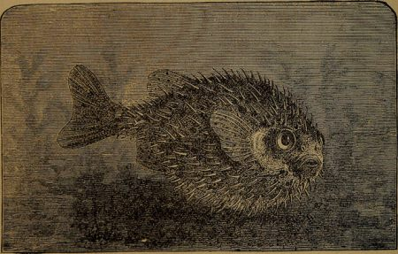 1875 drawing of a pufferfish