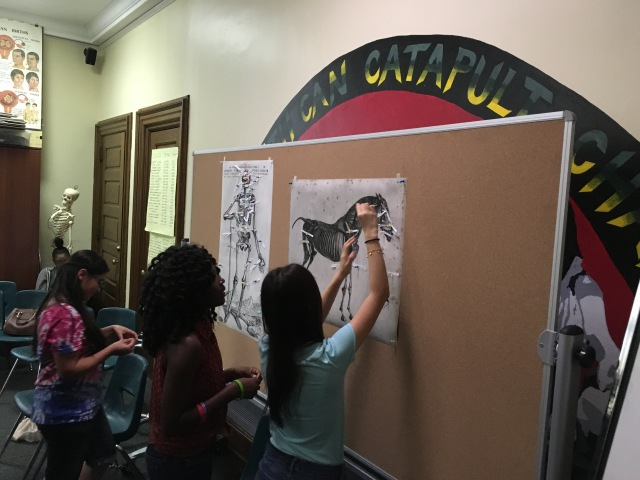 "Students in the Karabots Junior Fellows program stick notes containing facts they learned during their two week summer session on a bulletin board containing anatomical images of a human and horse, adding to their ""bodies of knowledge"""