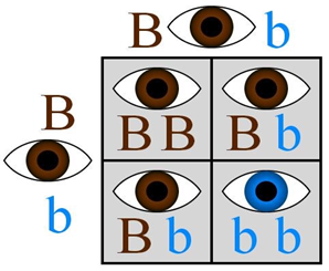Punnet Square demonstrating the likelihood of brown or blue eyes.