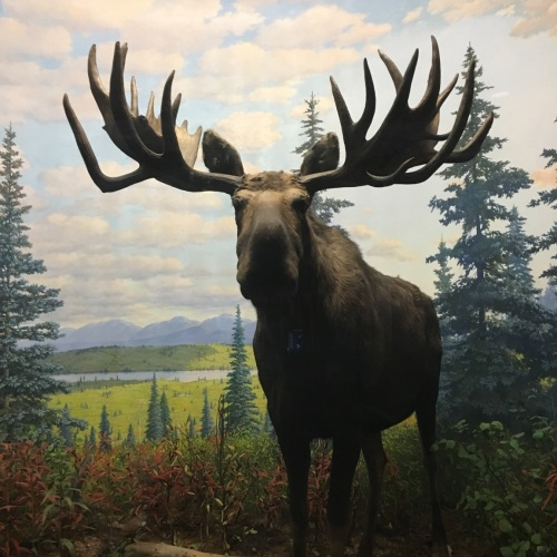 "Photograph of the ""Franken-Moose,"" a moose with another moose's antlers on display at the Academy of Natural Sciences"