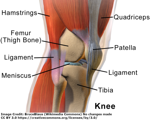 Anatomy of the knee, identifying the major parts of the knee