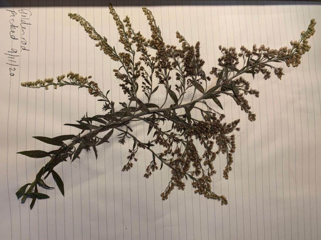 """A dried goldenrod plant on top of a lined sheet of paper. In the top left corner is written, """"Goldenrod picked 9/11/20"""""""