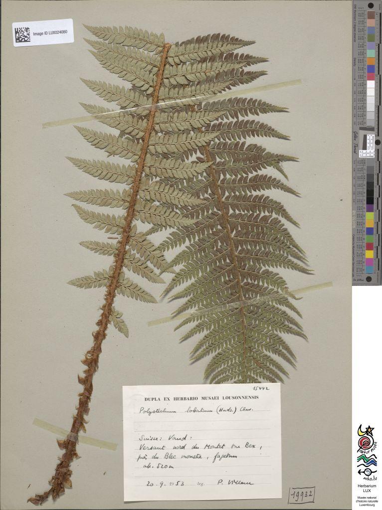 Professional herbarium sheet of a fern branch