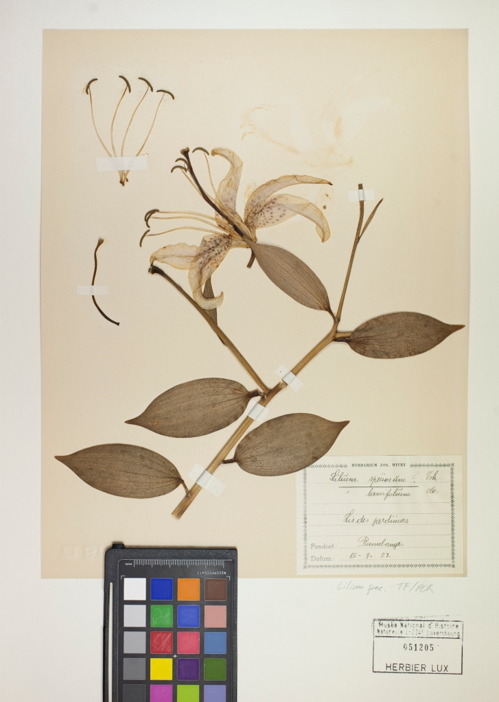 Herbarium sheet from Musée national d'histoire naturelle Luxembourg.