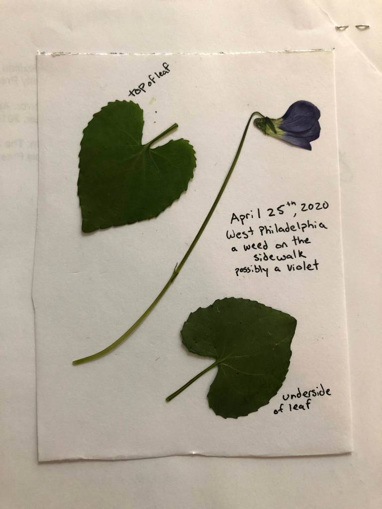 """Two pressed leaves and a pressed flower on a white sheet of paper. Text on the paper reads, """"top of leaf"""" (next to one of the leaves, """"underside of leaf"""" (next to the other), and """"April 25, 2020, West Philadelphia a weed on the sidewalk possible a violet."""""""